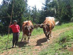 Agricultor con bueyes para la agricultura.